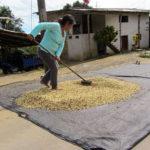 Mettre à sécher les graines de café