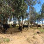 Le marché aux bestiaux, dan le même village