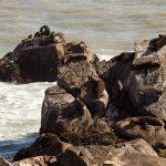 Lions de mer, avant d'arriver à San Antonio