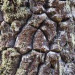 Ecorce et lichen